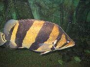Tigerfish037