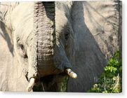 A-friendly-wave-amanda-schuster-canvas-print Elephant Ears
