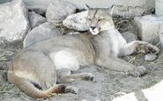 CougarImage
