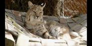 CITIRWN Bobcat