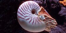 Chambered nautilus1