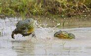 African Bullfrogs Fighting