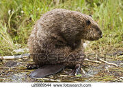 An-adult-beaver-castor-canadensis-picture u26889544