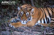 Bengal-tiger-lying-on-ground