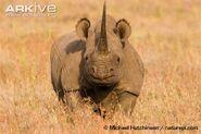 Black-rhinoceros-anterior-view