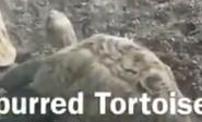 Brookfield Zoo Leopard Tortoise