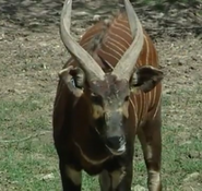 Dickerson Park Zoo Bongo