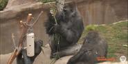 San Diego Zoo Safari Park Gorillas