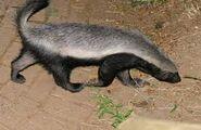 Badger, Honey (V2)