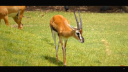 Cincinnati Zoo Gazelle (V2)