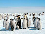 Emperor-penguin 521 600x450