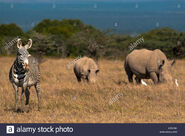 Grevy's Zebras and White Rhinoceroses