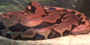 Indianapolis Zoo Reticulated Python