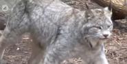 Louisville Zoo Lynx