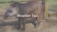 Marwell Zoo Tapir
