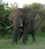 AfricanBushElephant