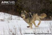 Grey-wolf-running-in-snow