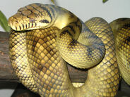 High-Yellow Sorong Amethystine Scrub Python