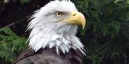 Houston Zoo Eagle