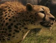 Narnia Cheetah