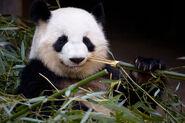 Panda lunlun ZA 8142-b