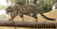 San Diego Zoo Clouded Leopard