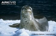 Leopard-seal-on-an-ice-floe