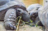 Noah's Ark Aldabra Giant Tortoises