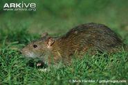 Rat, brown