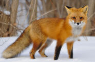 Red Fox, American
