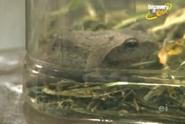 Scout's Safari Frog