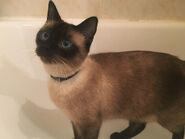 Siamese-cat-kitten-picture-5