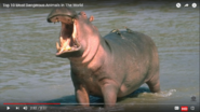 Dangerous Hippopotamus