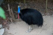 SouthernCassowary