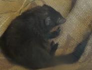 Brookfield Zoo Dwarf Mongoose