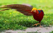 Golden-Pheasant-HD-Wallpapers