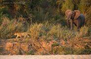 Leopards vs Elephants