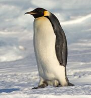 Penguin, emperor