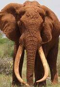 Really Really Big Elephants