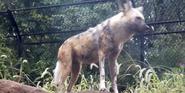Saint Louis Zoo African Wild Dog