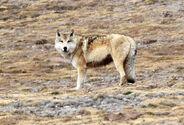 Tibetanwolf640