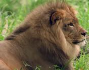 Bronyx Zoo Lion