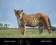 Panthera-onca-augusta-2014-738x591