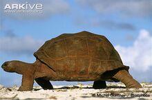 Aldabra-giant-tortoise-walking