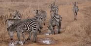 Bronyx Zoo TV Series Grant's Zebras