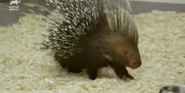 Bronyx Zoo TV Series Porcupine