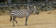 Clochester Zoo Zebra