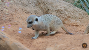 Dallas Zoo Meerkat