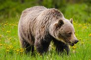 Grizzly Bear (Animal)