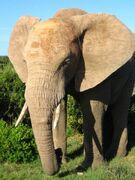 Savanna Elephants
